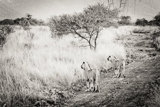 lions_pilanesberg-1