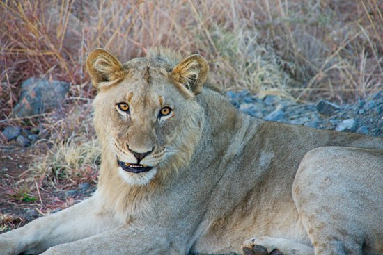 lions_pilanesberg-11