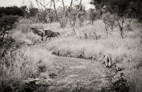 lions_pilanesberg-3