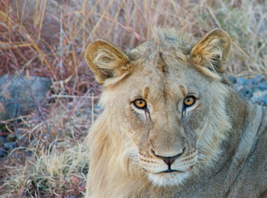 lions_pilanesberg-8