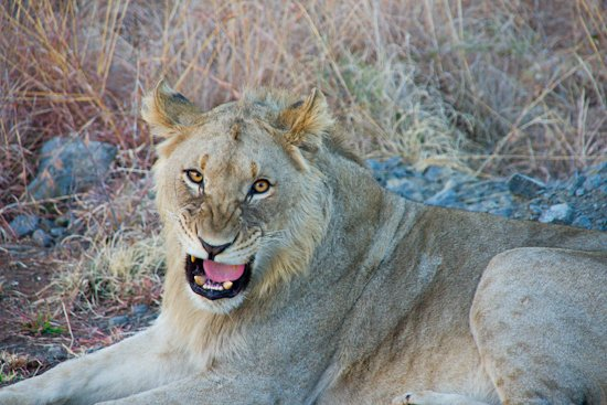 lions_pilanesberg-9