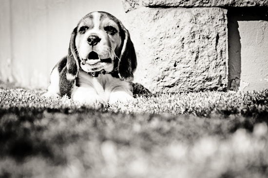 dog-photographer-westrand-2