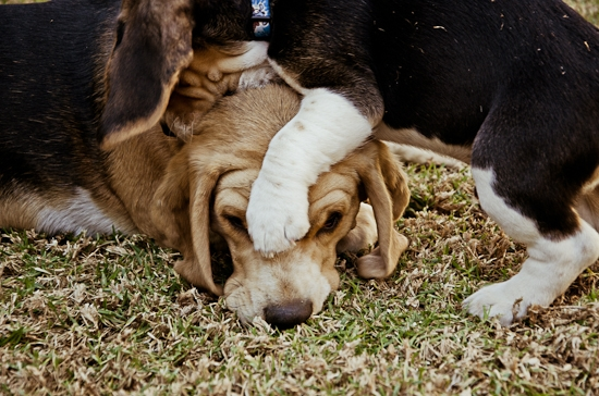 dog-photographer-westrand-9