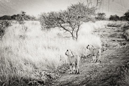 lions_pilanesberg-1