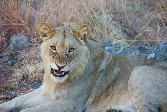 lions_pilanesberg-10