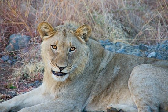 lions_pilanesberg-11