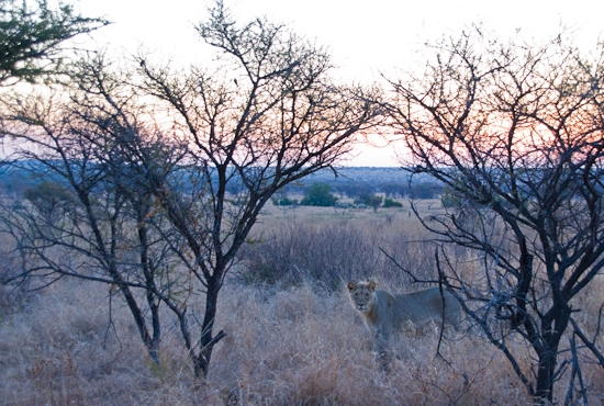 lions_pilanesberg-14