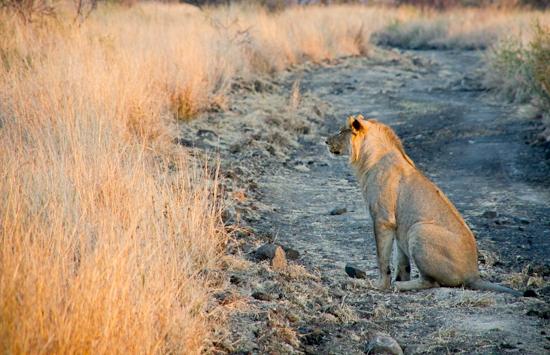 lions_pilanesberg-2