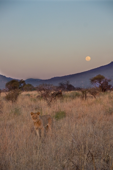 lions_pilanesberg-5