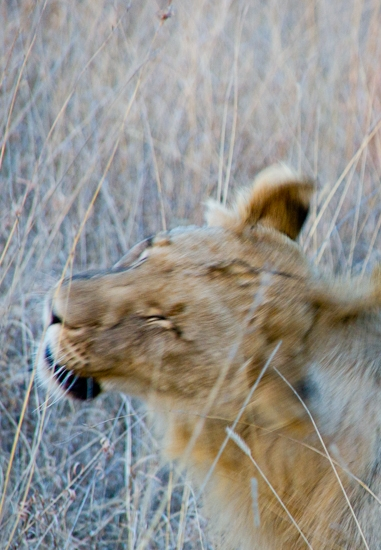 lions_pilanesberg-7