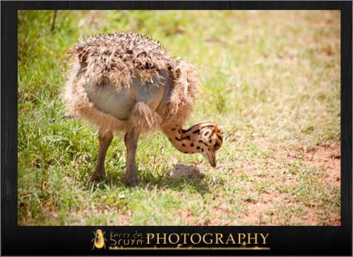 ostrich10.jpg
