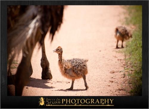 ostrich4.jpg