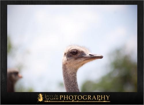 ostrich6.jpg