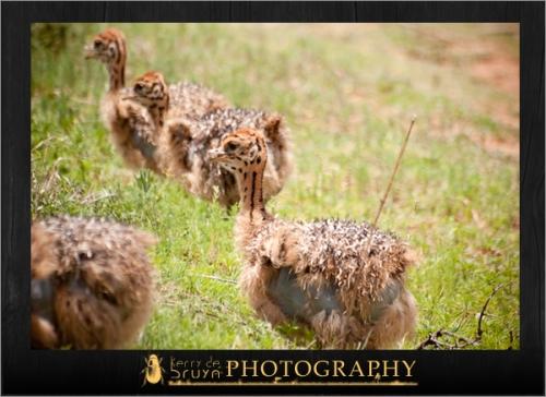 ostrich9.jpg