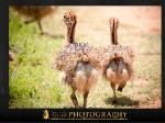 ostrich11.jpg