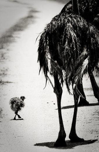 ostrich12