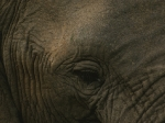 Wise old Elephant eye