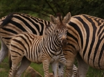 Baby Burchell's Zebra with mom
