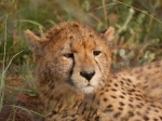 Awoken cheetah