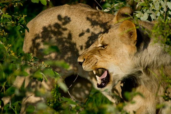 lions-9