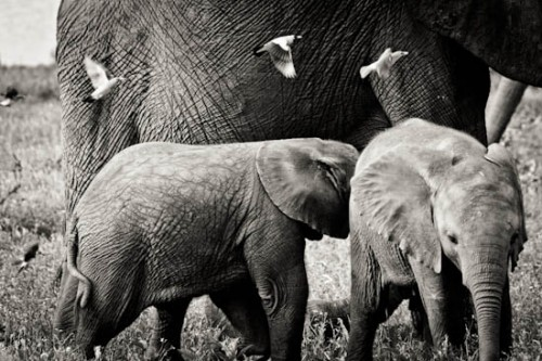 Elephant with wattled starlings