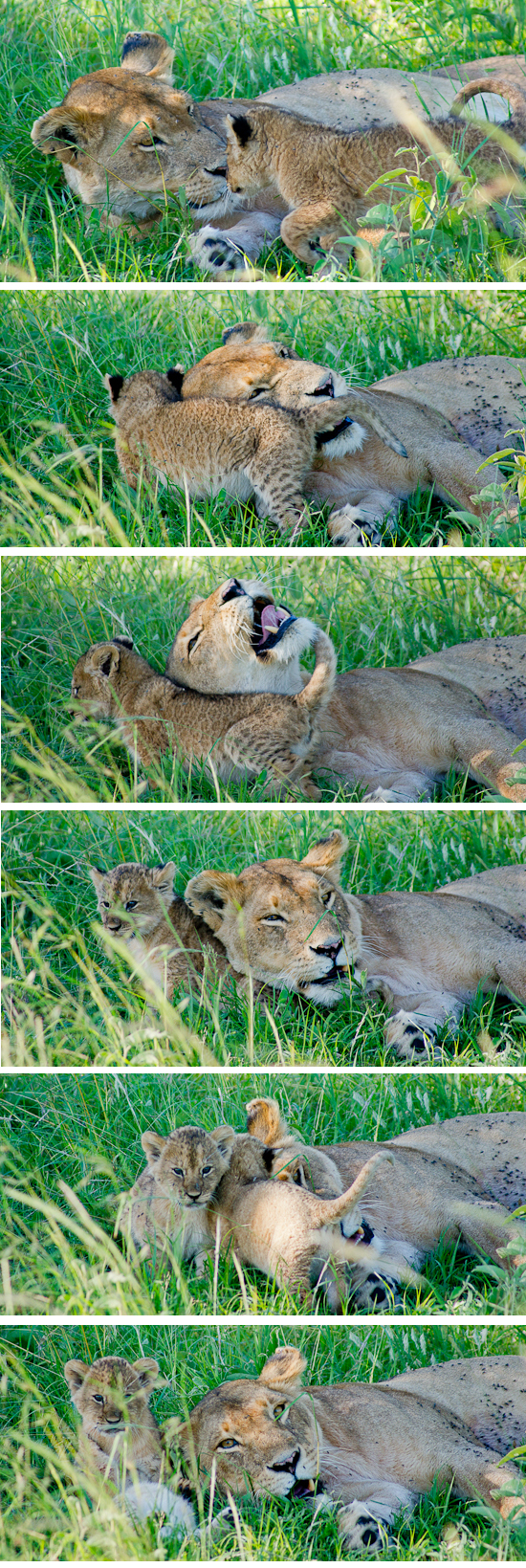 lioness and cub in the serengeti wildlife photographer