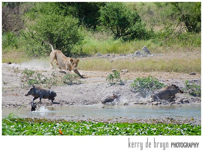 chasing warthog