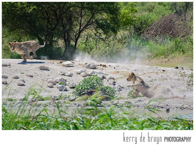 lionesses hunt