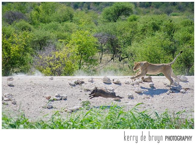 lions hunt warthog