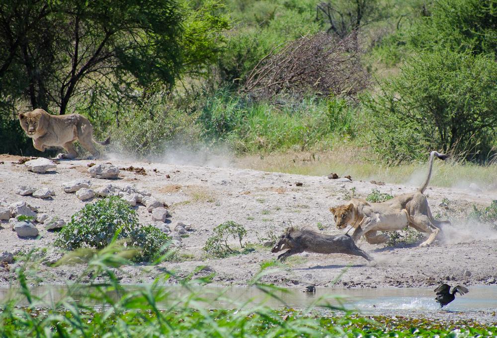 lionesses hunt warthog