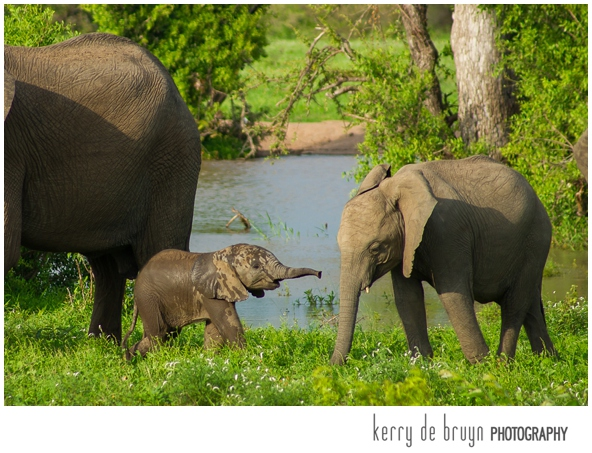 wildlife photography elephants